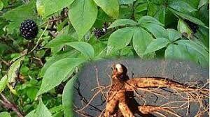Sedmikráska bylinný extrakt Eleuterokok fyzické a duševní zdraví, dobrá nálada, krevní oběh, imunita, adaptogen, krevní tlak, doplněk stravy Rodinná farma Sedmikráska
