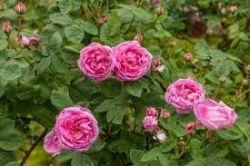 Sedmikraska syrop ziołowy Róże 500ml Rodinná farma Sedmikráska