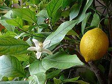 Daisy Fruit - syrop warzywny Cytryna z ogórkiem 500 ml