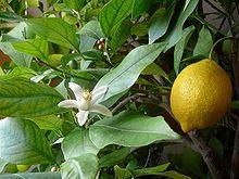 Daisy Fruit - syrop warzywny Cytryna z ogórkiem 500 ml suplement diety * układ oddechowy * zmęczenie * odporność * Rodinná farma Sedmikráska