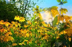 Sedmikráska ovocný sirup Ostružina s echinaceou 500 ml normální funkce dýchací soustavy - dolní močové cesty - imunita přirozená obrany schopnost doplňek stravy Rodinná farma Sedmikráska