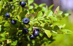 Syrop owocowy Daisy Blueberry 1000 ml - Wzrok, przeciwutleniacz, naczyniowy, trawienny, suplement diety Rodinná farma Sedmikráska