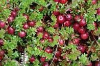 Syrop owocowy Daisy Cranberry 1000 ml, suplement diety, przeciwutleniacz, naturalne środki obronne Rodinná farma Sedmikráska